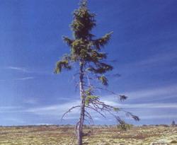 Dünyanın  yaşayan en yaşlı ağacı