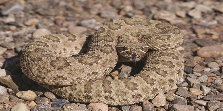 Teksas'da kesik çıngıraklı yılan kafası bir adamı ısırdı