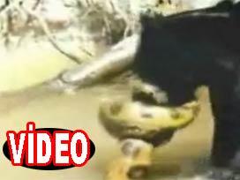 Anakonda ile jaguarın savaşı Video