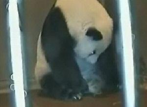 Pandanın saniye saniye doğum anı Video