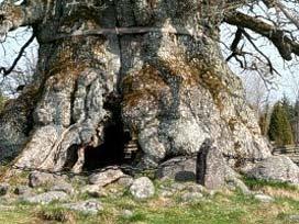 Dünyanın en yaşlı ağacı bulundu