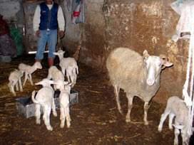 Koyun yediz doğurdu