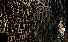 1 Metrelik Ağ Ören Yeni Örümcek Türü