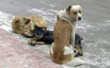 Başıboş köpeklere dikkat!