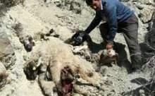 Sürü Psikolojisi 52 Koyunun Canına Mal Oldu