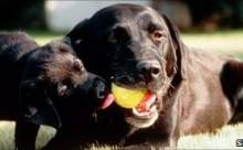 Köpekler Kanseri Teşhis Edebiliyor!