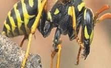 Arılarda Stres ve Depresyon Belirtisi