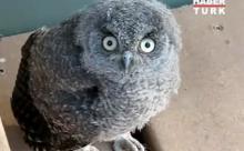 Dünyanın en sinirli baykuşu! VİDEO