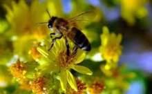 Arı Zehiri AIDS İçin Panzehir İşlevi Görebilir
