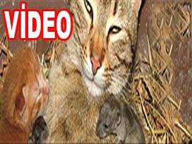 Kedi farelere annelik yaparsa VİDEO