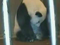 Panda'nın saniye saniye doğum anı Video