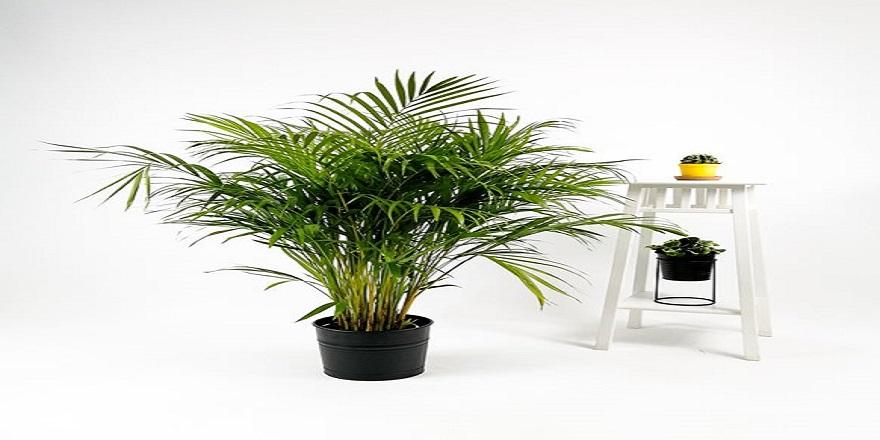 areka-palmiyesi---dekoratif-antrasit-renk-saksili---140-150-cm-kc5702957-1-8e9fd99eba144d48a56ed4a8b656b66e.jpg