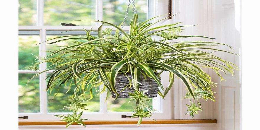 chlorophytum-kurdele-cicegi-1.jpg