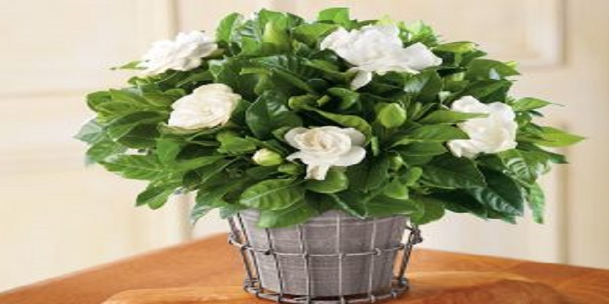 gardenya-cicegi-300x240.jpg